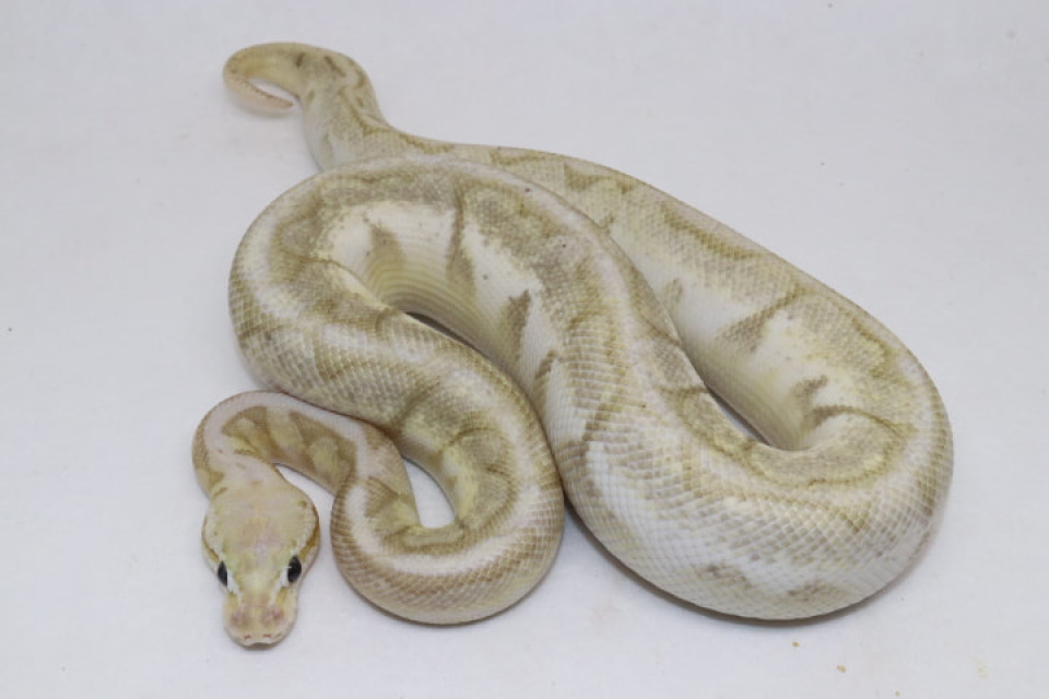 Ball Pythons For Sale Contains Bamboo