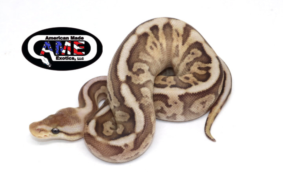 Ball Pythons - All Available