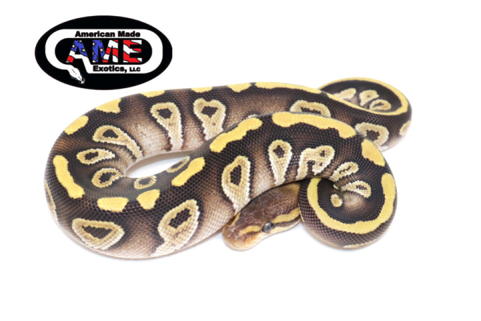 Ball Pythons For Sale - Contains Chocolate