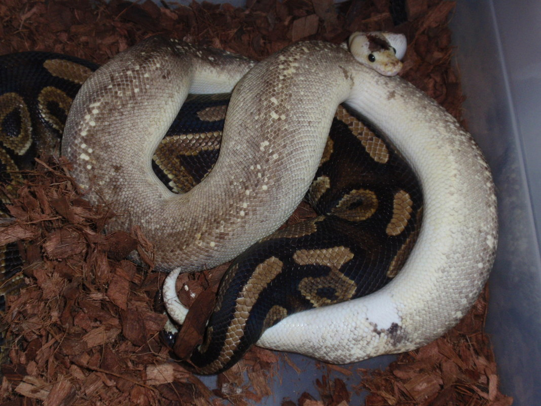 BREEDING BALL PYTHONS